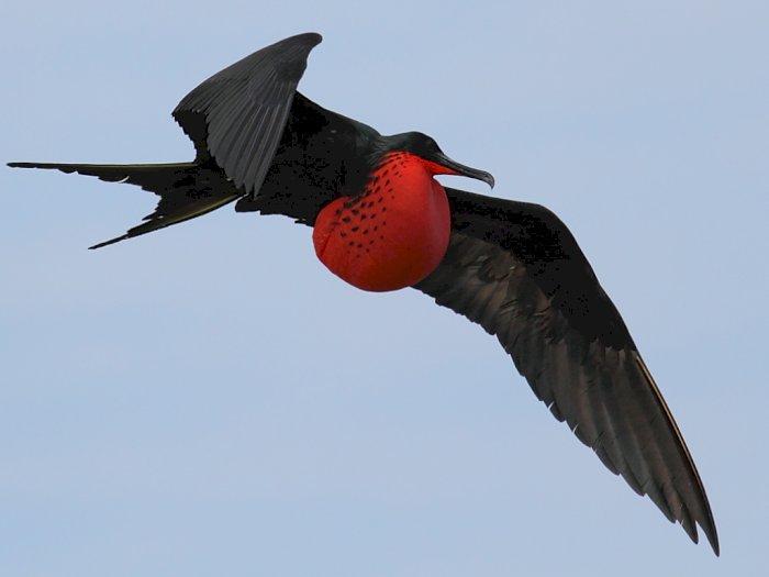 Burung Fregat, Burung Laut Perompak di Atlantik