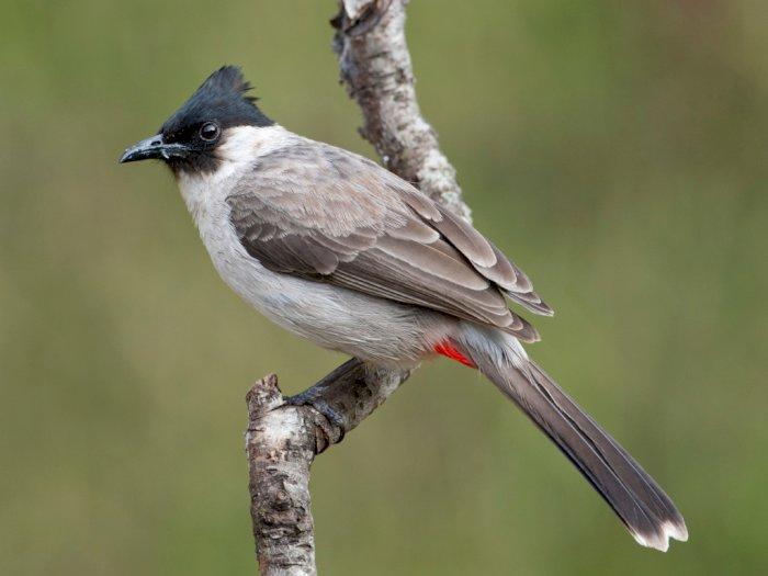 Mengenal Burung Kutilang yang Populer dan Suka Berkicau