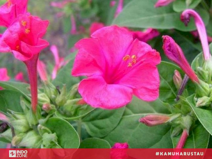 Fakta Bunga Pukul Empat Yang Mekar Di Sore Hari Indozone Id