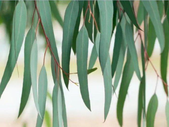 Hasil Riset Baru: Produk Eucalyptus Bisa Jadi Antivirus Corona