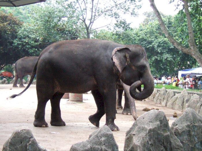 Yuk Kenalan dengan Gajah Sumatera, Si Besar Satwa Endemik Sumatera