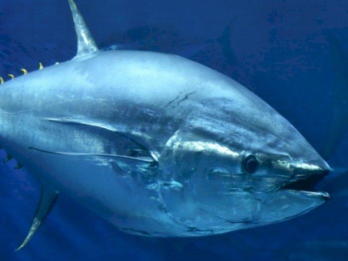 Mengapa Daging Ikan Tuna Berwarna Merah?