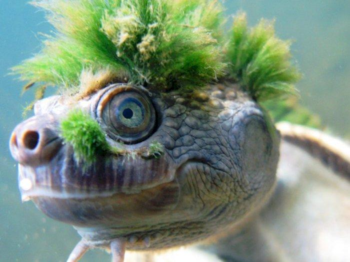 Lucunya Kura-kura Berambut Hijau di Sungai Mary