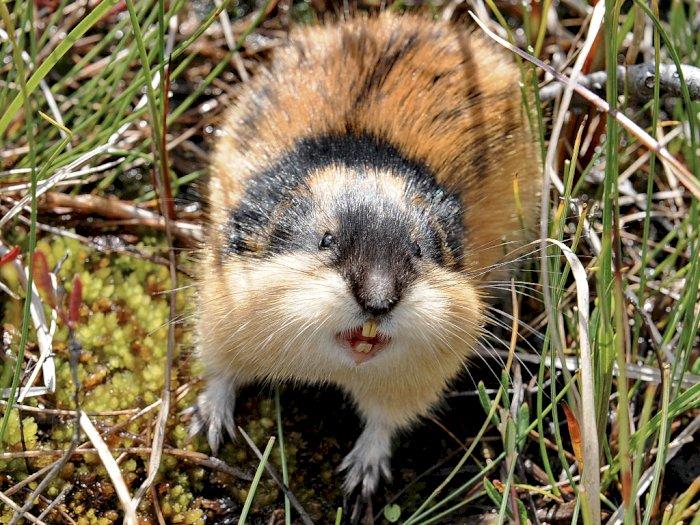 Lemming, Hewan Mirip Hamster yang Sering Bunuh Diri Massal