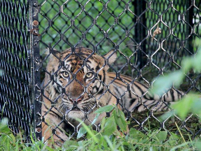 FOTO: Observasi Harimau Sumatera Sebelum Pelepasliaran