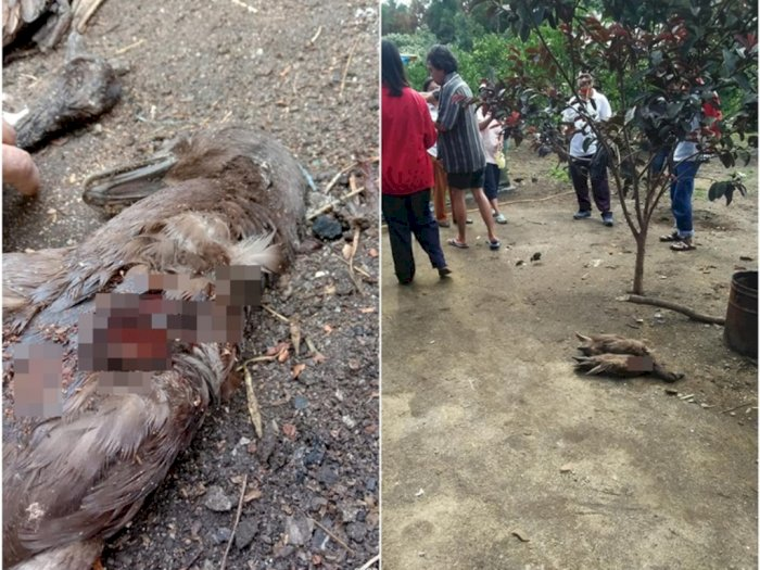 Mahkluk Misterius Serang Ternak Warga di Taput, Hanya Hisap Darah Tak Makan Mangsanya