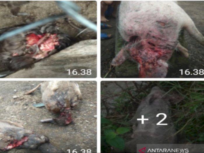Buru Makhluk Misterius Penghisap Darah Ternak di Taput, Polisi Gandeng Balai Konservasi