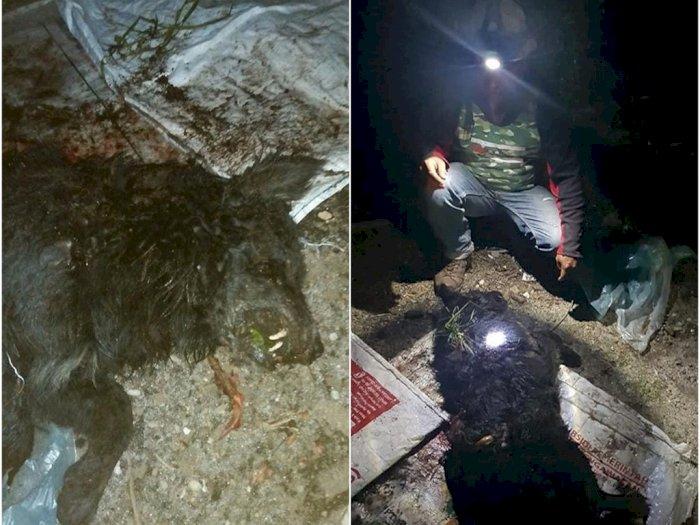 Pemburuan Makhluk Misterius di Taput, Warga Temukan Binatang Bertaring Menyerupai Serigala