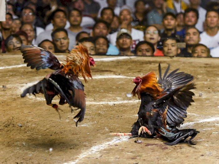Sabung Ayam, Permainan yang Berasal dari Cerita Rakyat