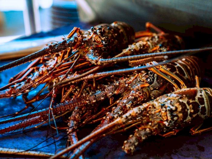 Trump Lindungi Industri Lobster AS, Ekpor Benih Lobster Indonesia Setara Mendoan, Ironis!