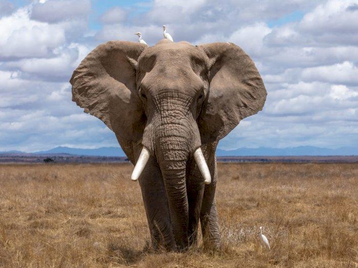 Patah Hati, Berat Badan Gajah Ini Naik Drastis setelah Kehilangan Kekasih