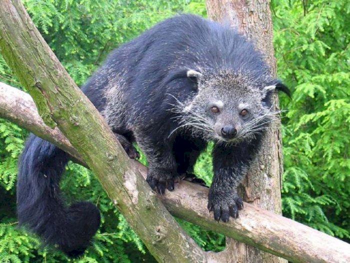 'Kucing Beruang' Diduga Jadi Dalang Penghisap Darah Hewan Ternak Warga di Tapanuli Utara