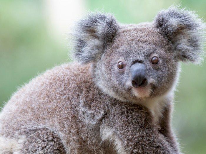 Sedih, Koala Diprediksi Punah pada 2050
