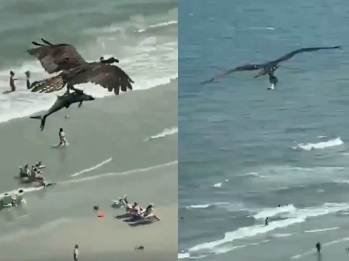 Viral! Aksi Elang yang Terbang Sambil Bawa Ikan Hiu