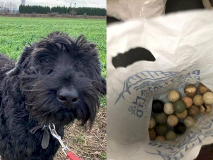 Anjing Malang Ini Pingsan Setelah Telan 26 Bola Golf, Sarung Tangan, Hingga Potongan Kayu