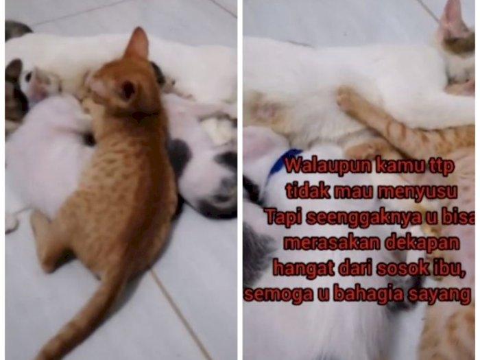 Drama Anak Kucing Sebatang Kara Cari Kasih Sayang Induk Kucing Lain, Endingnya Bikin Sedih