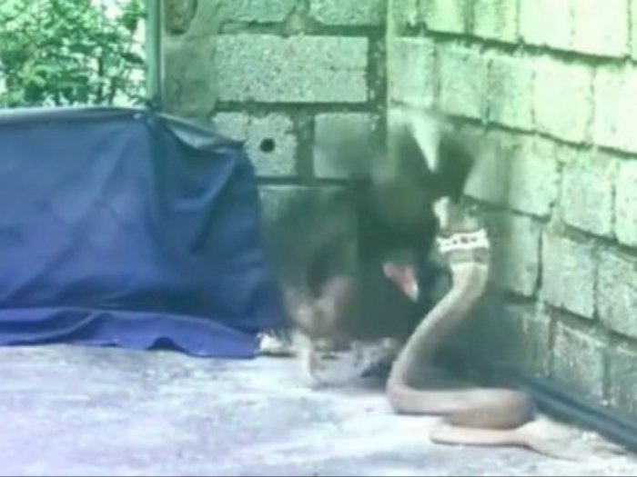 Perjuangan Induk Ayam Lawan Ular Kobra Demi Lindungi Anak-anaknya