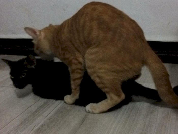 Viral Kucing Homo di Sumatera Utara, Jantan Kawin dengan Jantan, Ini Videonya