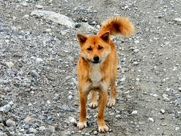 Mengenal Anjing Primitif di Papua yang Tidak Bisa Menggonggong dan Mirip Rubah