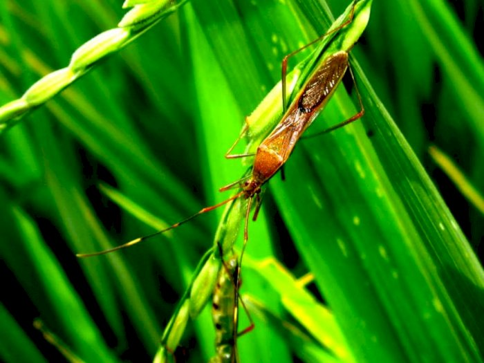 Walang Sangit, Serangga Berbau Busuk yang Serap Nutrisi Padi
