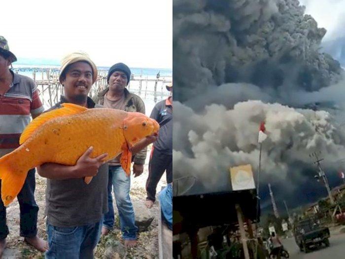 Gunung Sinabung Erupsi Lagi, Ada yang Mengaitkannya dengan Ikan Emas 15 Kg di Danau Toba