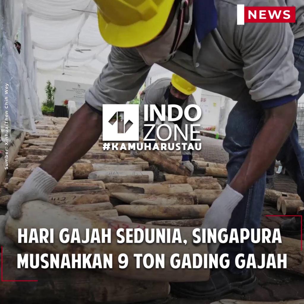 Hari Gajah Sedunia, Singapura Musnahkan 9 Ton Gading Gajah