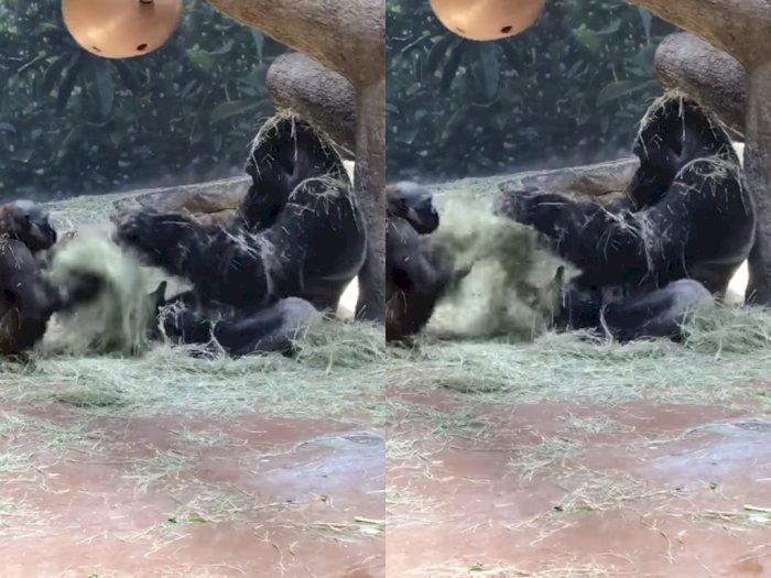 Video Keseruan Gorila Saat Bermain dengan Anaknya, Bikin Netizen Tersenyum