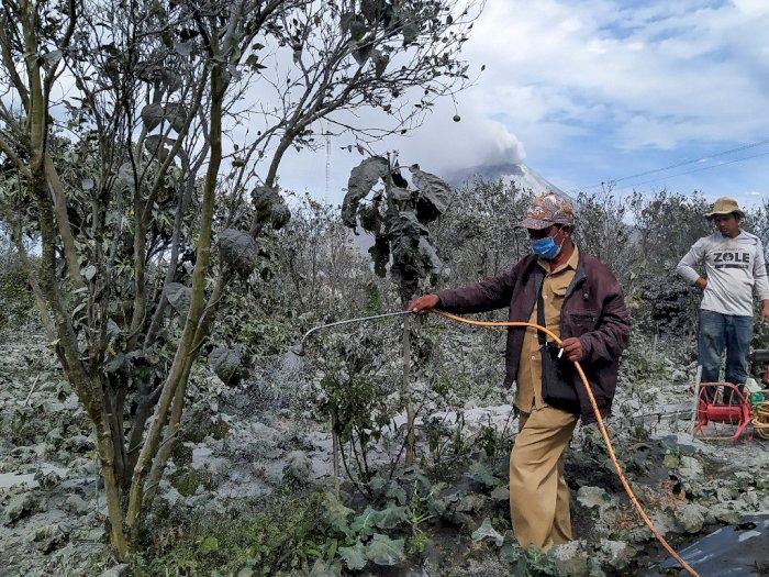 Debu Sinabung Tutupi Lahan Pertanian, Pemerintah Siapkan Alat Semprot untuk Petani di Karo