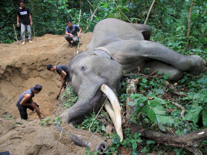 Sedih, Gajah Jinak Berusia 34 Tahun di Aceh Jaya Mati Mendadak