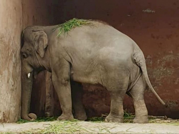 Teraniaya 35 Tahun di Kebun Binatang, Gajah Paling Kesepian di Dunia Akhirnya Dibebaskan