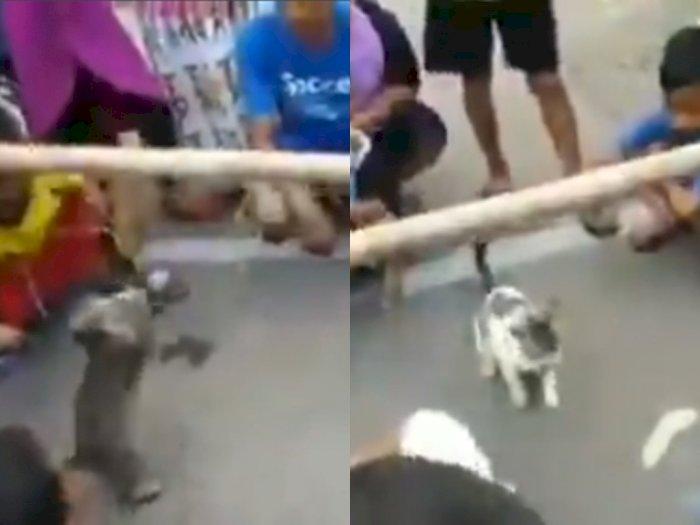 Ikut Meriahkan HUT RI ke-75, Lucunya Kucing-kucing ini Ikut Lomba Makan Ikan
