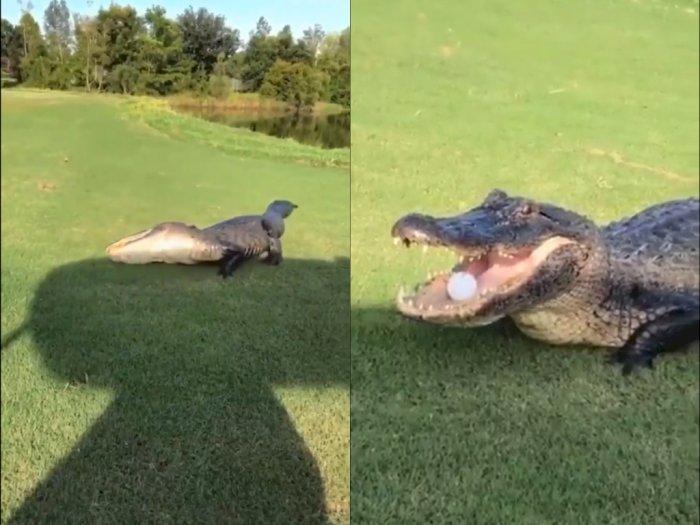 Dikira Telur, Buaya ini Tangkap Bola Golf yang Mengarah Ketempatnya dengan Mulut