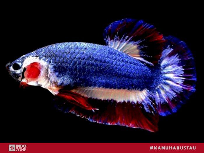 Seharga Motor 5 Ikan Cupang Dengan Harga Fantastis Indozone Id