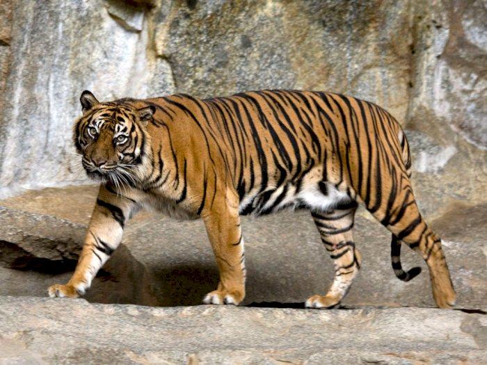 Jadi Pemangsa Hewan Ternak Warga, Seekor Harimau Sumatera di Tapsel Ditangkap