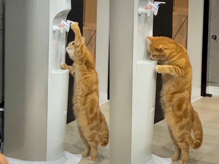 Kehausan, Kucing Oren Ini Ambil Minum Sendiri Dari Dispenser