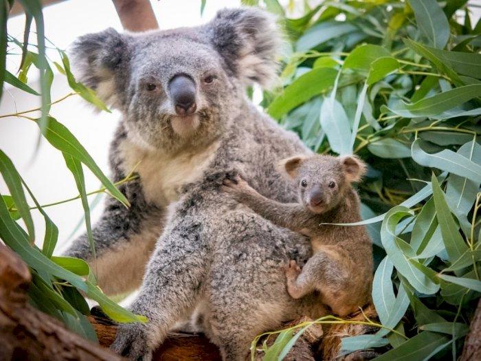 Bayi Koala di Kebun Binatang AS Ini Resmi Tinggalkan Kantung Ibunya, Gemes!