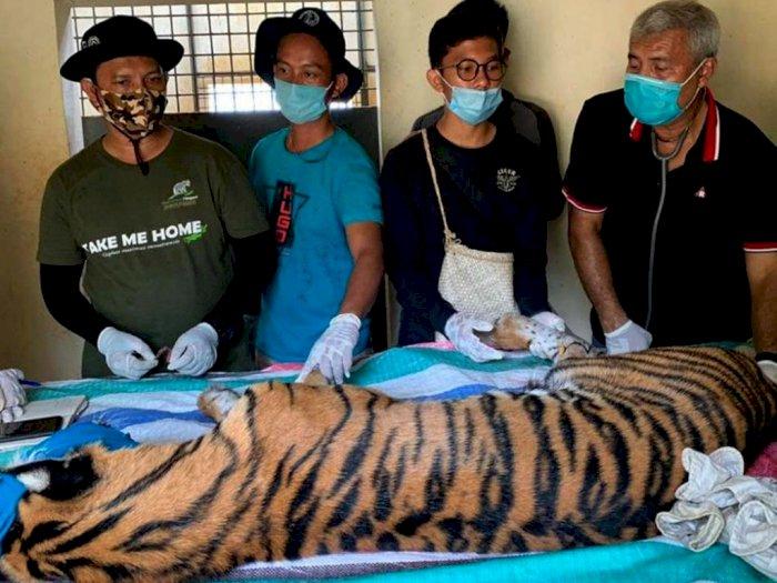 Sudah Malnutrisi, Harimau Sumatera yang Ditangkap di Tapsel Ternyata Anemia Juga