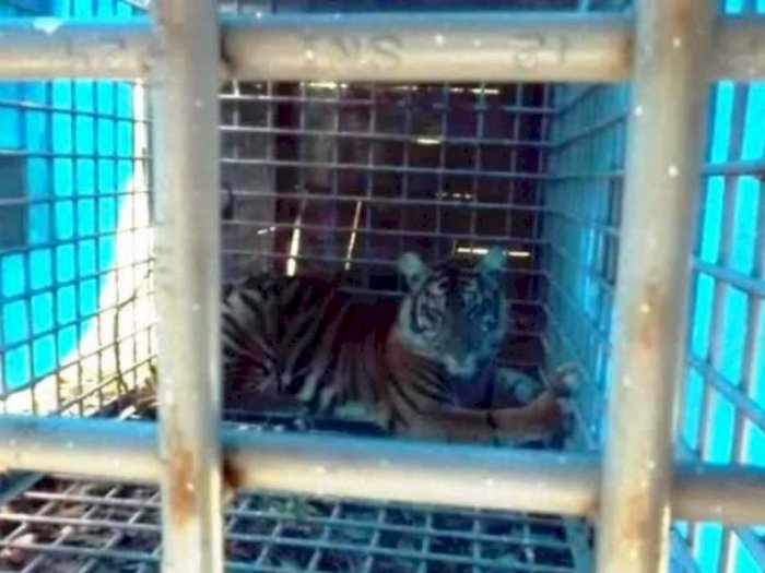 Harimau Sumatera Pemangsa Hewan Ternak Warga di Tapsel Dievakuasi Karena Malnutrisi