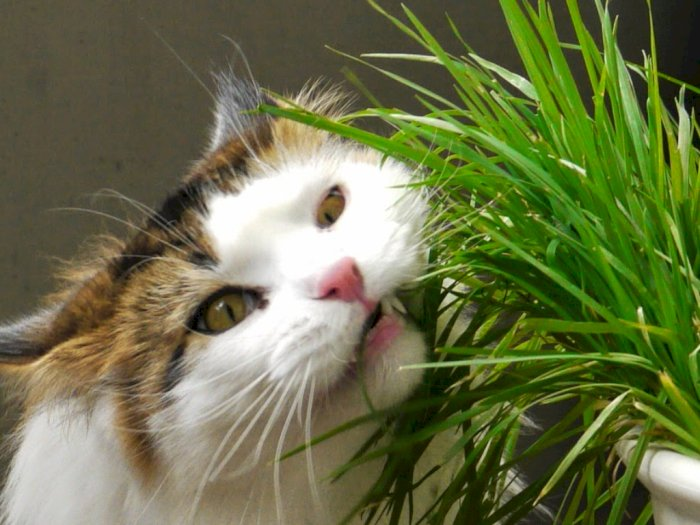 Mengapa Kucing Suka Makan Rumput dan Memuntahkannya?