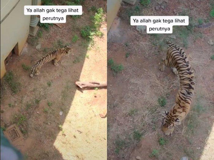 Video Penampakan Harimau yang Kurus di Kebun Binatang, Bikin Netizen Sedih