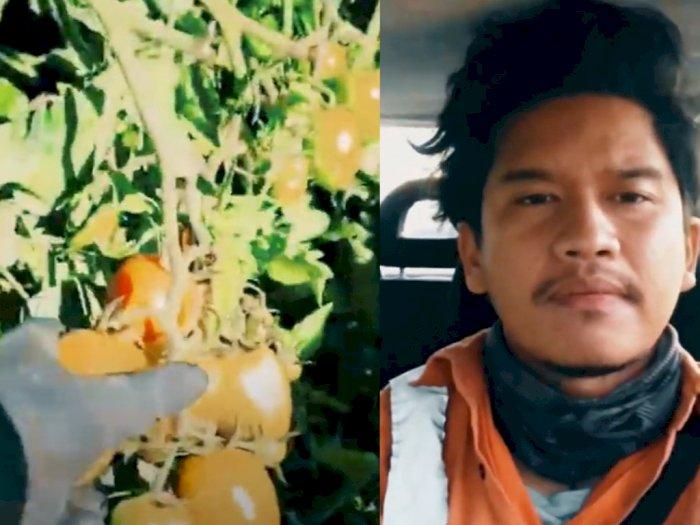 Pria Ini Kerja di Kebun Tomat di Australia, Gajinya Capai Rp40 Juta Sebulan, Ini Caranya