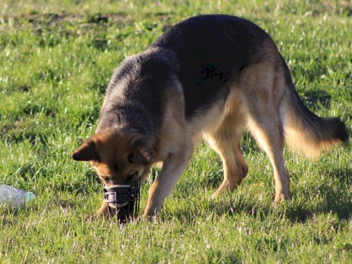 Seberapa Jauh Anjing Dapat Mengendus dan Mendengarkan Suara?