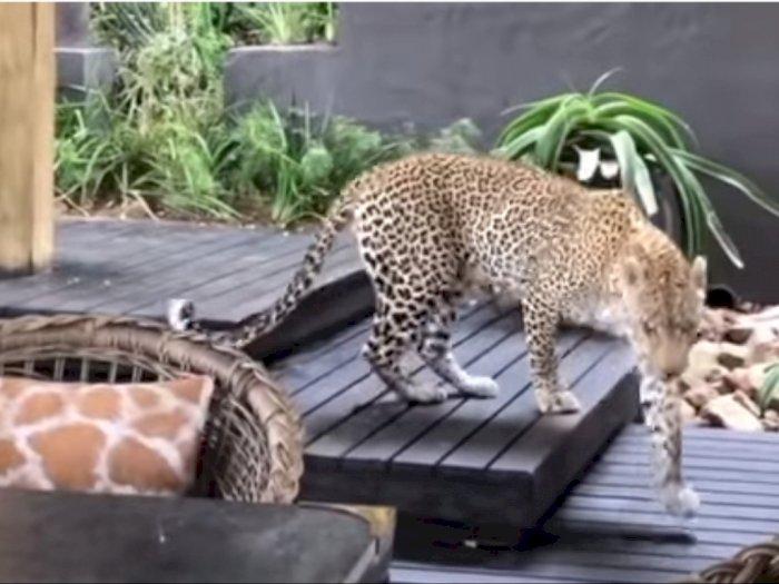 Ketika Macan Tutul Jalan-Jalan di Restoran Afrika Selatan, Nyasar?
