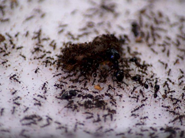 Menarik! Pengusaha Singapura Ini Berbisnis Ternak Semut di Tengah Corona