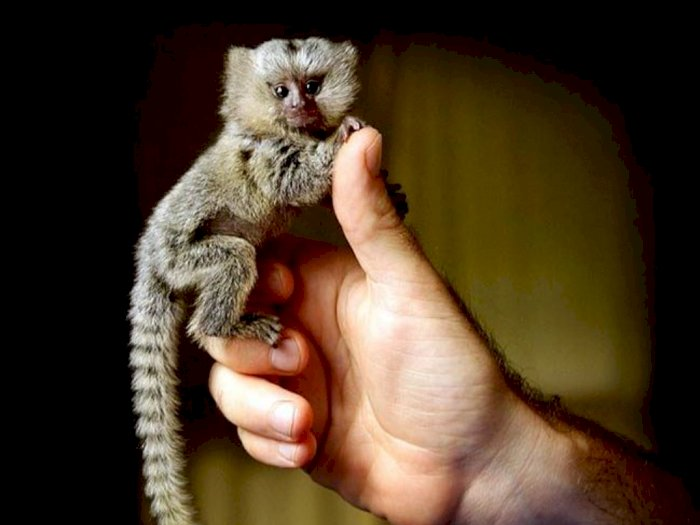 Marmoset Kerdil, Primata Sebesar Ibu Jari yang Terancam Punah