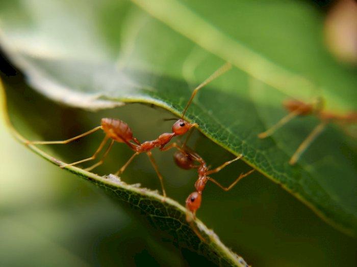 Bagaimana Cara Semut Dapat Kembali Pulang ke Sarangnya Tanpa Tersesat?