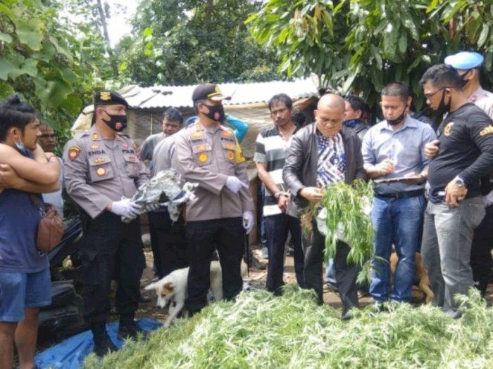 Masih Segar, Polisi Amankan Ratusan Batang Ganja Langsung dari Ladangnya di Karo