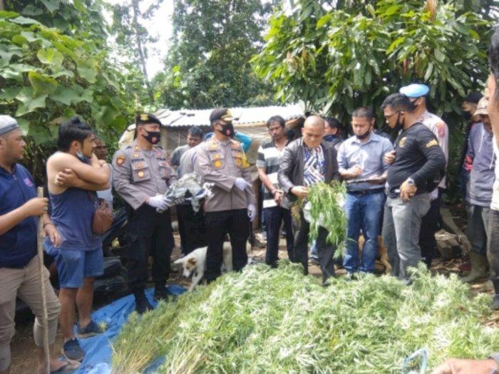 Waduh, Ada 246 Batang Ganja di Kabupaten Karo
