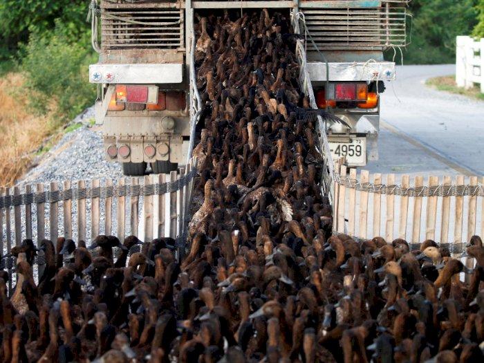 FOTO: Bebek Membersihkan Hama dari Sawah di Thailand
