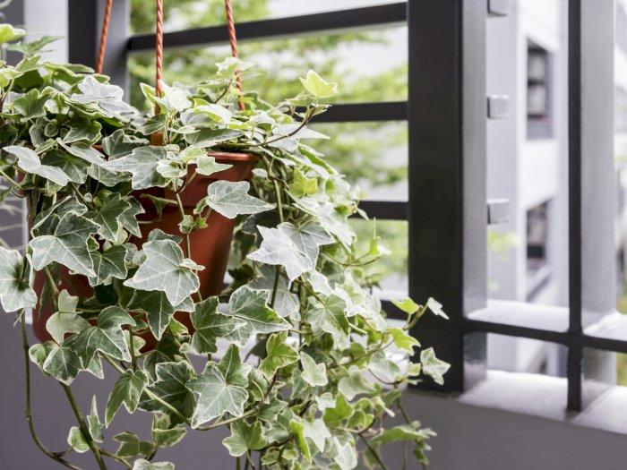Tanaman Ivy, Pohon Feng Shui yang Diminati Banyak Orang
